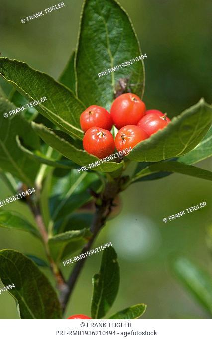False Medlar, Sorbus chamaemespilus / Zwerg-Mehlbeere, Sorbus chamaemespilus