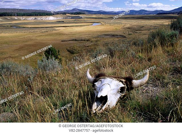 Bison skull in Pelican Valley, Yellowstone National Park, Wyoming
