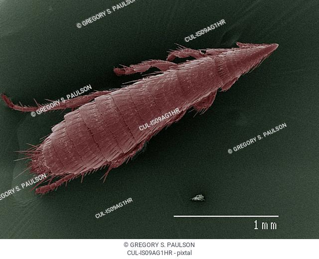 Coloured SEM of flea
