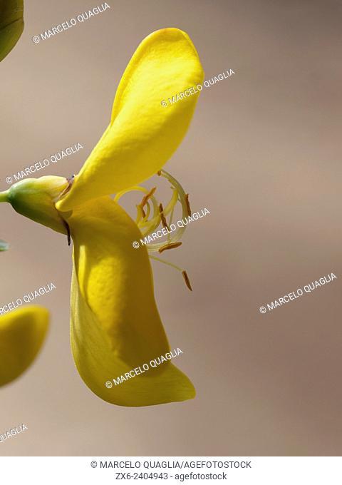 Broom flower, detail (Cytisus scoparius). Montseny Natural Park. Barcelona province, Catalonia, Spain