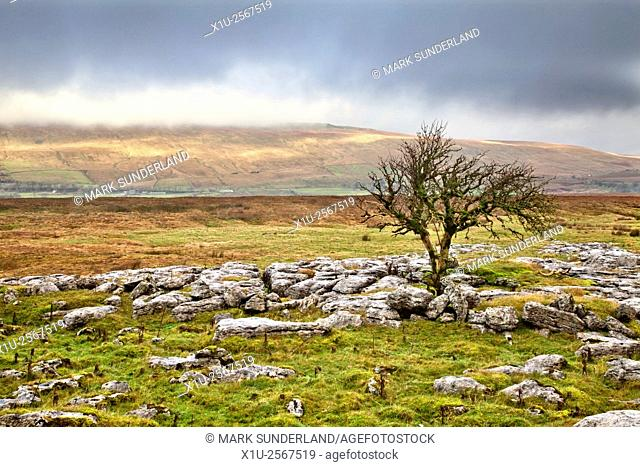 Lone Tree at Sleights Pasture Rocks and Winter Light on Whernside Ribblehead North Yorkshire England