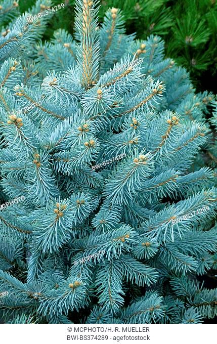 Colorado blue spruce (Picea pungens 'Hoopsii', Picea pungens Hoopsii), cultivar Hoopsii, Mannheim