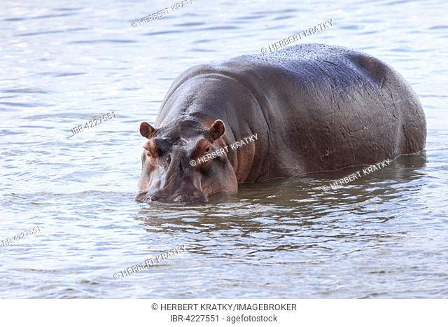 Hippopotamus (Hippopotamus amphibius), standing in water, South Luangwa National Park, Zambia