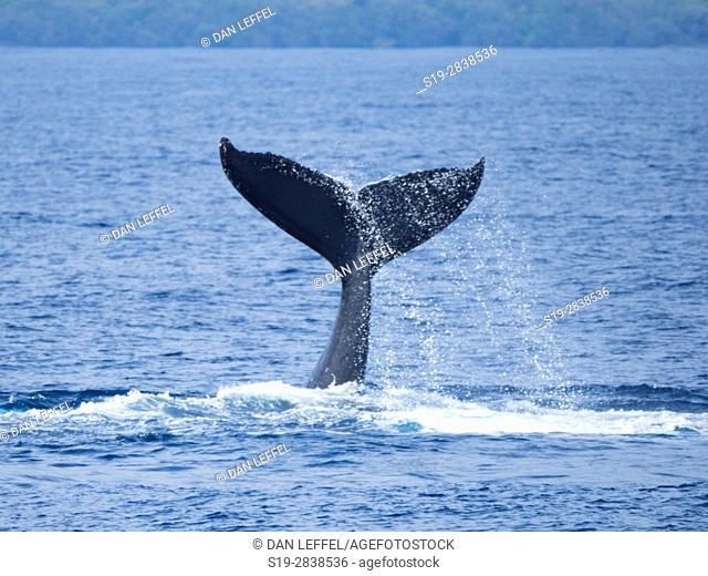Maui Humpback Whale Tail Slap