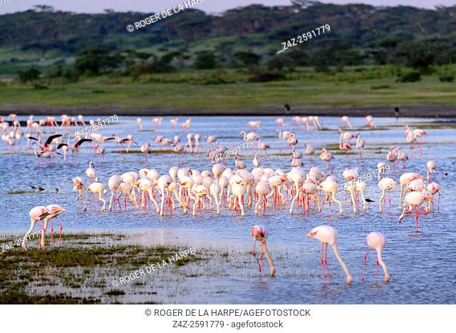Greater Flamingo (Phoenicopterus Roseus) in Lake Ndutu. Ngorongoro Conservation Area (NCA). Tanzania