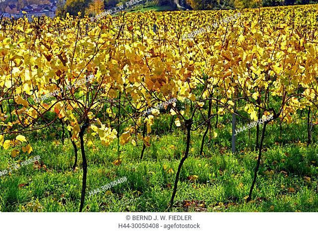 Vineyards, autumn foliage, Neustadt in Weinstrasse Germany