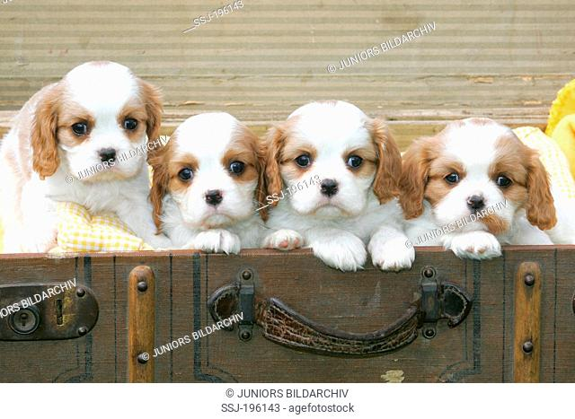 Cavalier King Charles Spaniel Four puppies on an old suitcase Germany