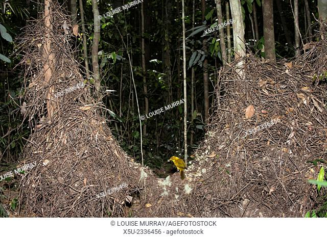 The Golden Bower bird, Prionodura newtoniana, with its bower. Endemic to the Wet Tropic rainforest above 700m in the Atherton Tablelands of Queensland Australia