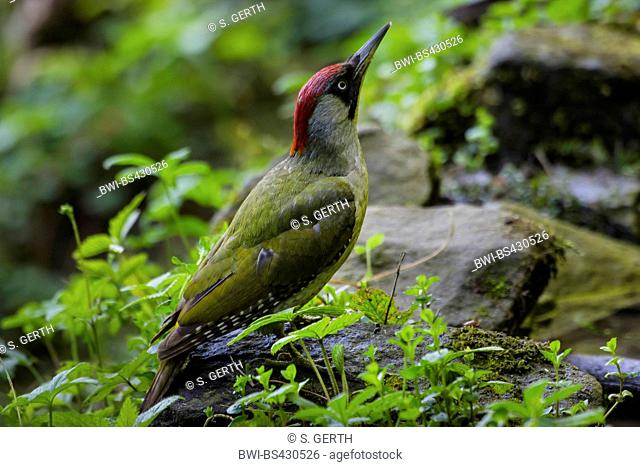 green woodpecker (Picus viridis), searching food on a stone, side view, Switzerland, Sankt Gallen