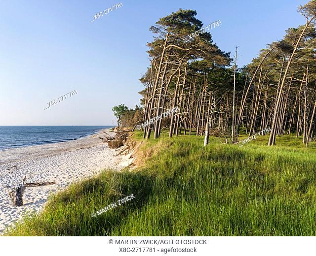 Coastal forest at the Weststrand (western beach) on the Darss Peninsula. Western Pomerania Lagoon Area NP. Europe, Germany, West-Pomerania, June