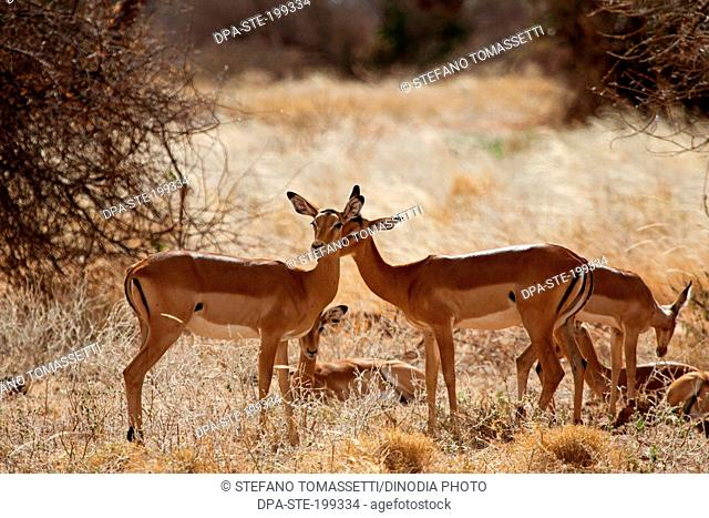Impala, masai mara national park, kenya, africa