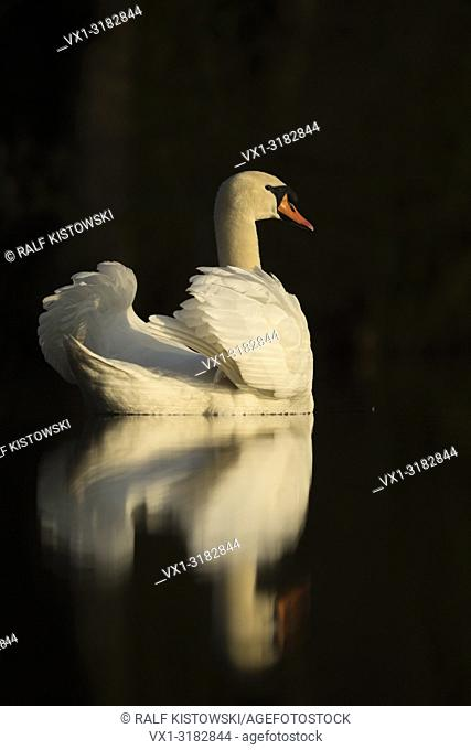 Mute Swan (Cygnus olor), looks elegant, shows its beauty with nice reflection on a calm dark water surface