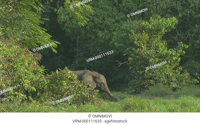 LS Elephant and baby Elephant walking out of forest and trees / Dzangha-Sangha National Park, Central African Republic