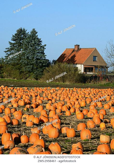 Pumpkins on a field in Löderup, Scania, Sweden
