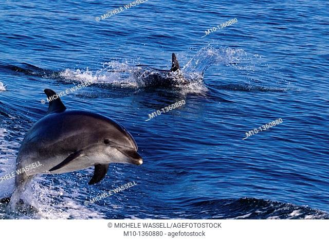 Two Off-shore Bottlenose Dolphins surfing and leaping in the boat wake in the Santa Barbara Channel