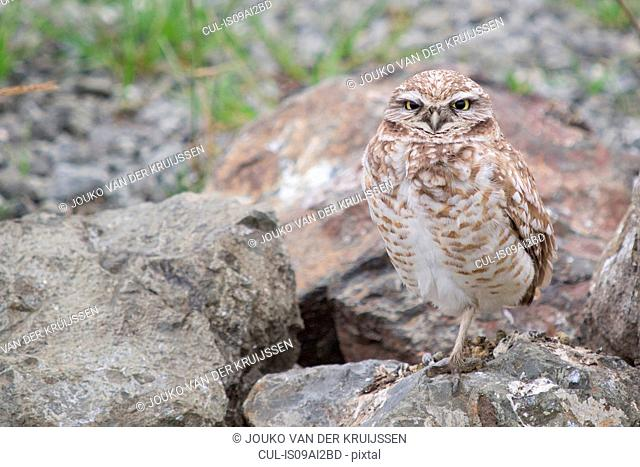 Burrowing Owl, Athene cunicularia, Berkeley, California, USA
