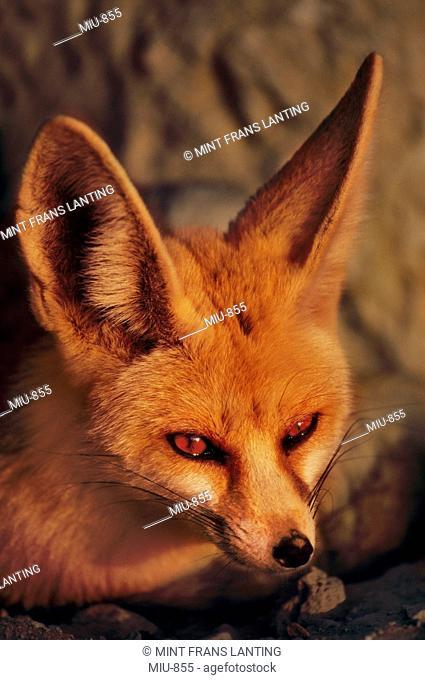 Fennec fox, Vulpes zerda, Negev Desert, Israel