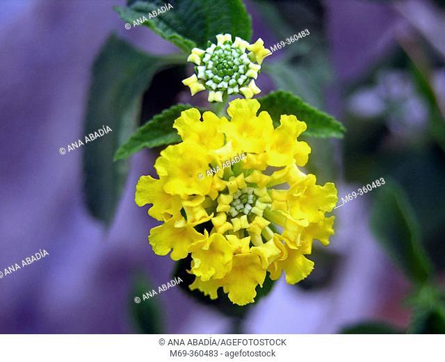 Common Lantana (Lantana camara)