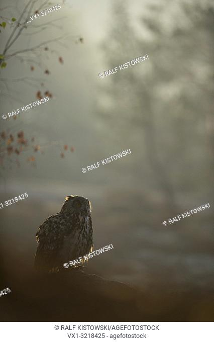 Northern Eagle Owl / Europaeischer Uhu (Bubo bubo) sitting on some rocks, early morning, hazy backlit situation
