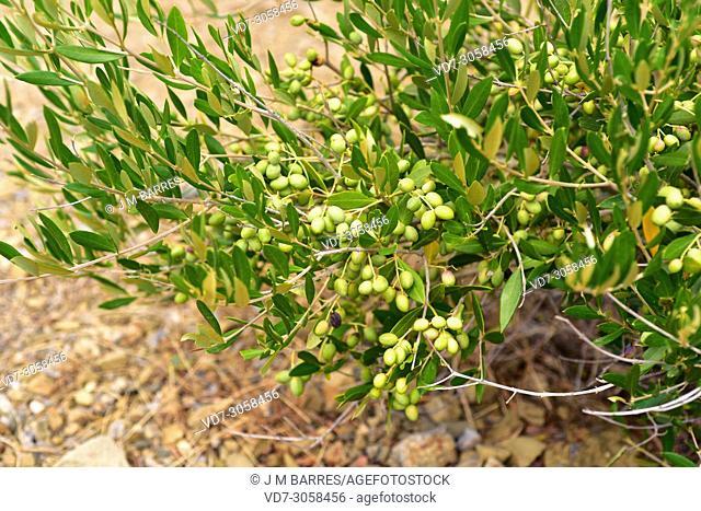 Wild olive (Olea europaea sylvestris or Olea europaea oleaster) is a shrub or small tree native to Mediterranean Basin. Fruits detail
