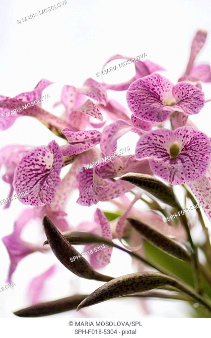 Brassanthe maikai orchid flowers and buds