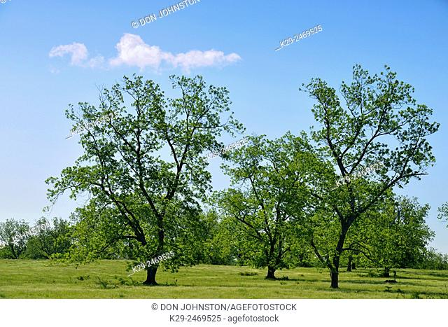 Pecan trees with spring foliage, Hwy 155 S near Winona , Texas, USA