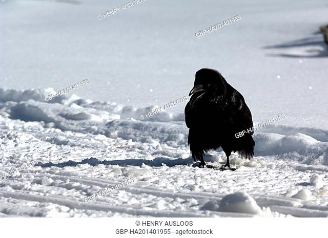 Grand corbeau - Raven - Corvus corax