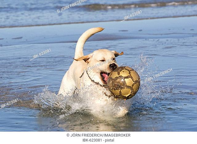 Yellow Labrador Retriever playing with ball in the Baltic Sea, Baltic Sea resort Zingst, Mecklenburg-Western Pomerania, Germany, Europe