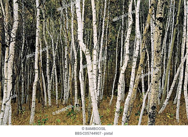 White birch forest on Wucai Mountain of the Sehanba, Saihanba Prairie, Fengning County, Hebei Province of People's Republic of China