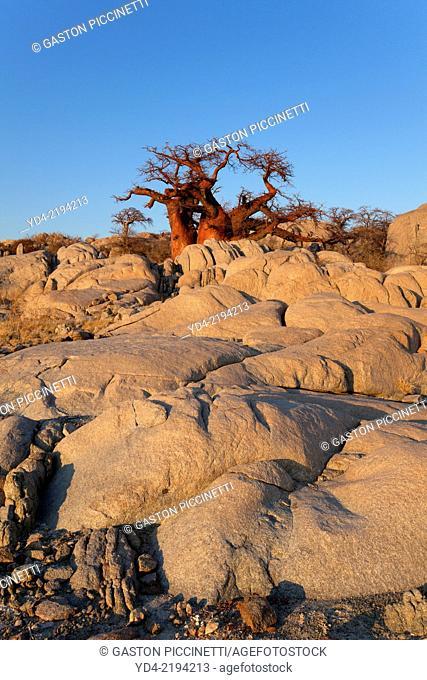 Baobab (Adansnia digitata), Kubu isalnd, in the south west of Sowa Pan, Makgadikgadi pans, Botswana, Africa