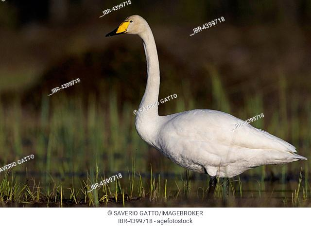 Whooper Swan (Cygnus cygnus), adult standing in a swamp, Ivalo, Lappland, Finland
