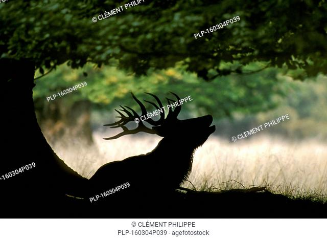 Silhouette of red deer (Cervus elaphus) stag under oak tree bellowing during the rut in autumn forest