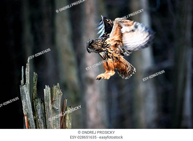 Eurasian Eagle Owl fly hunting
