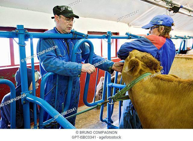 MACHINE MILKING OF ICELANDIC COWS ON A FARM IN THE SOUTHWEST OF ICELAND, EUROPE