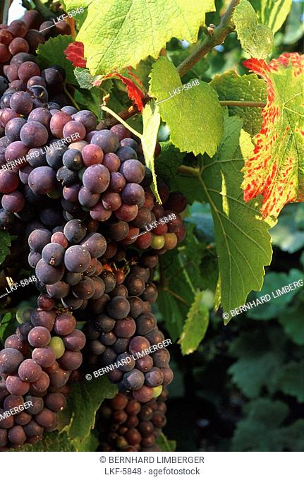 Grapes and vine leaves, Champagne, France, Europe