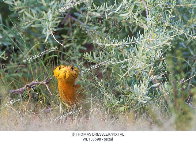 Cape Cobra (Naja nivea). During the rainy season in green surroundings. Kalahari Desert, Kgalagadi Transfrontier Park, South Africa