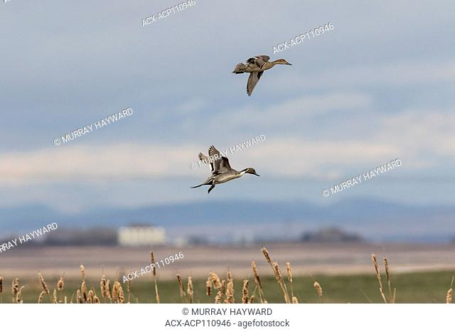 Northern Pintail (Anas acuta) Picturesque duck, male and female, coming into land. Inverlake Road, Alberta, Canada