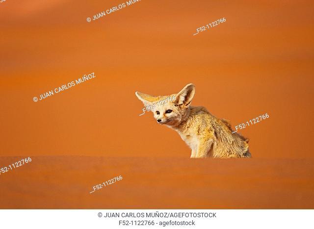 Fennec Fox (Vulpes zerda), Sahara Desert, Merzouga, Morocco