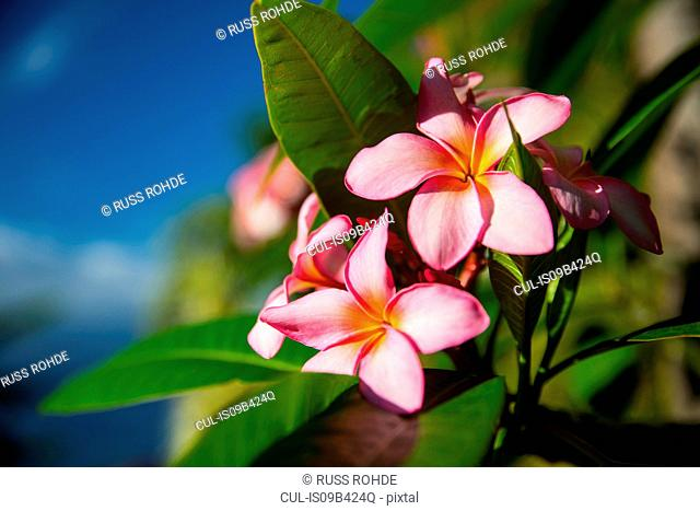 Close up of tropical pink flowers, Reunion Island
