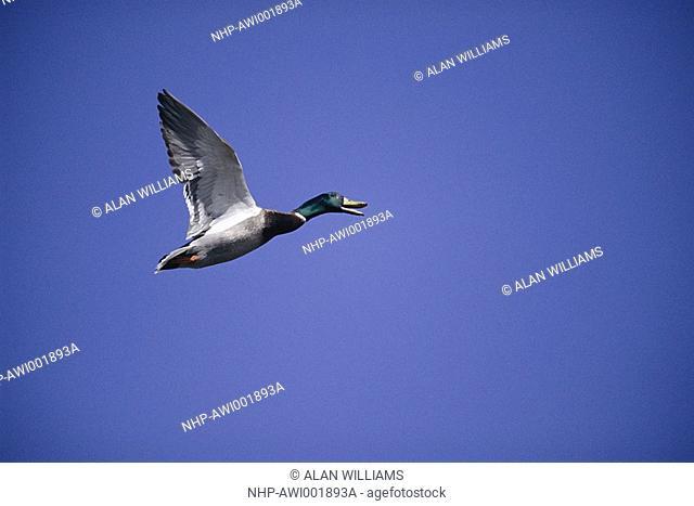 MALLARD calling in flight Anas platyrhynchos Sussex, England  April