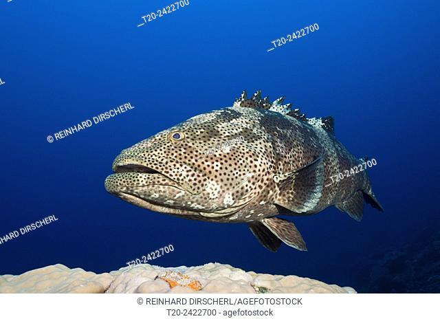 Malabar Grouper, Epinephelus malabaricus, Great Barrier Reef, Australia