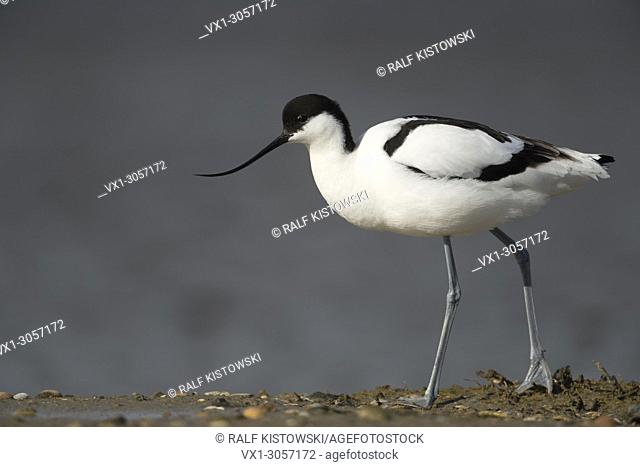 Pied Avocet / Saebelschnaebler ( Recurvirostra avosetta ), walking along the waterline, full body, side view, wadden sea, Germany