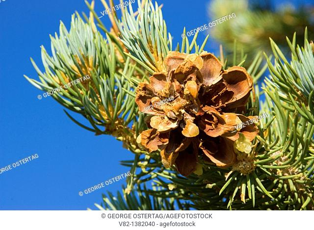 Pinyon pinecone, Ancient Bristlecone Pine Forest, Ancient Bristlecone National Scenic Byway, Inyo National Forest, California