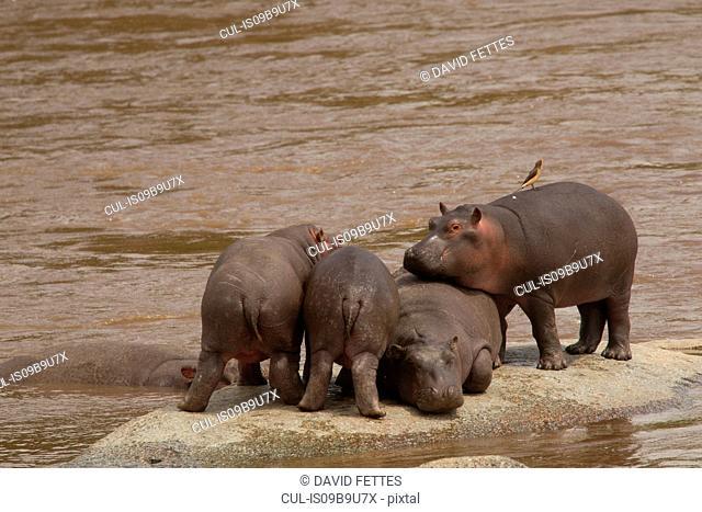 Hippopotamus, Hippopotamus amphibius, Mara River, Serengeti National Park, Tanzania