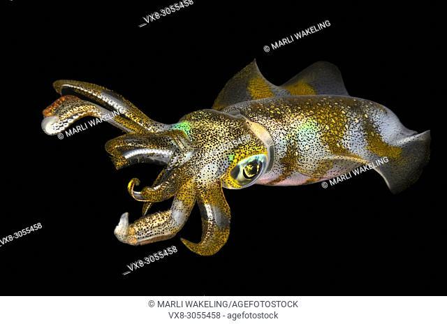 Bigfin reef squid, Sepiotheuthis lessoniana, Anilao, Batangas, Philippines, Pacific