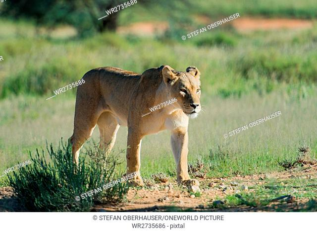 South Africa, North Cape, Mier, Kgalagadi Transfrontier Park, Lioness in National Park