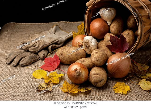 A close up of potatoes, garlic, and onions laying out of an overturned basket