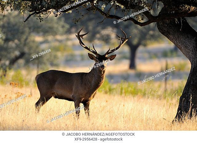 Red deer (Cervus elaphus). Sierra de San Pedro Natural Reserve. Cáceres province. Extremadura. Spain