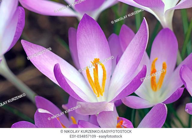 Woodland crocus (Crocus tomassinianus). Called Early crocus, Tommasinis crocus and Tommies also
