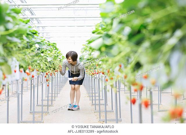 Young Japanese woman picking strawberries in a vinyl house